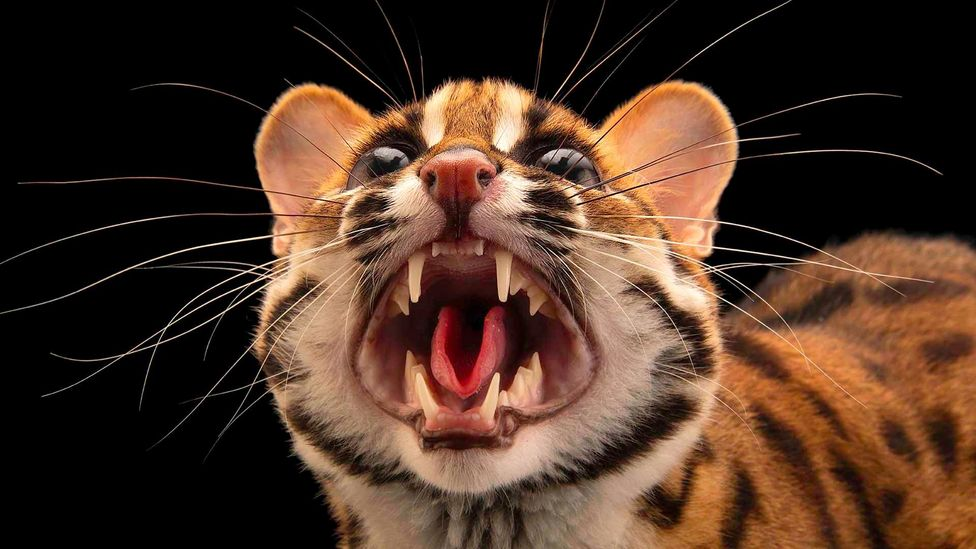 The Visayan leopard cat is an endemic species to the Philippines, and is classed as vulnerable (Credit: Alamy)