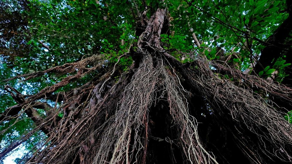 Mature balete trees are thought to be often inhabited by the taglugar spirits according to mariit beliefs; but this does not always help their conservation (Credit: Alamy)