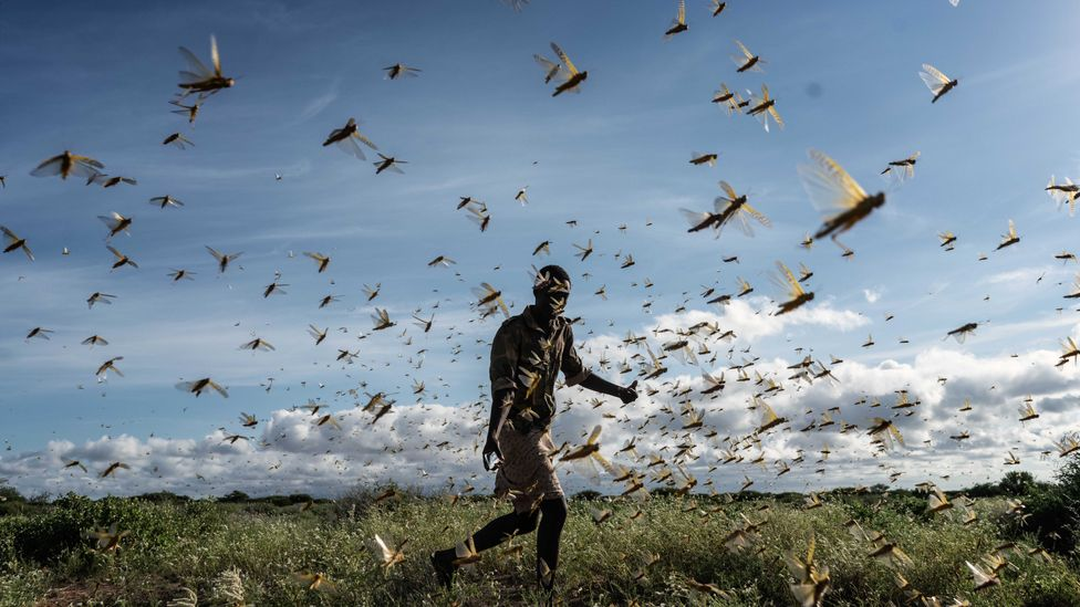 Locusts have been congregating in dozens of East African and West Asian countries in 2020, in the worst swarms in decades (Credit: Getty Images)