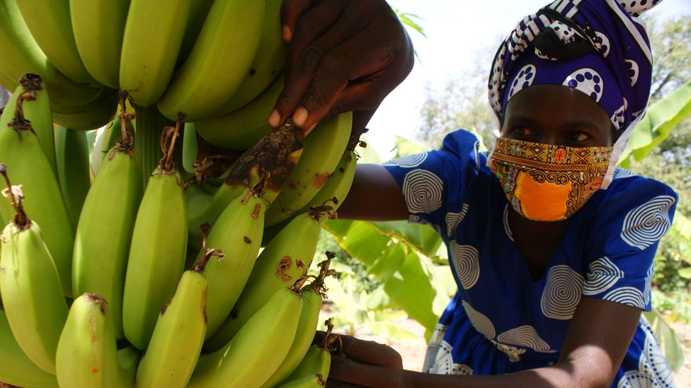 Esther Ndavu inspects her crops. Some of those that escaped the locusts have developed disease (Credit: David Njagi)
