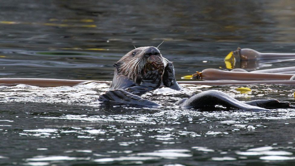 A revival of sea otters in British Columbia might be welcomed by some, but their burgeoning numbers are threatening the species they feed on, such as abalone (Credit: Stef Olcen)