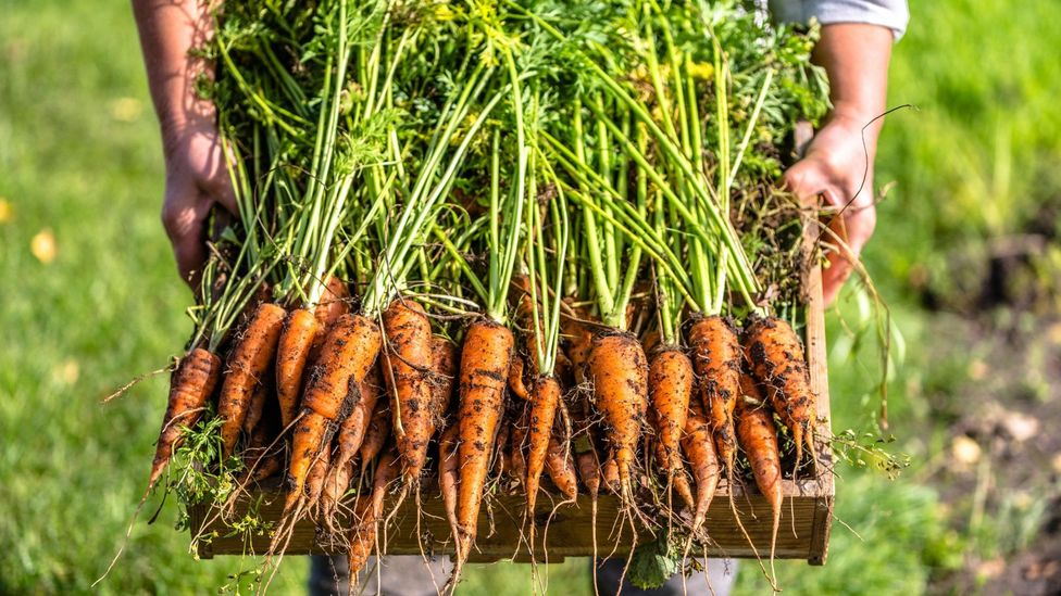 Man holding freshly-dug carrots