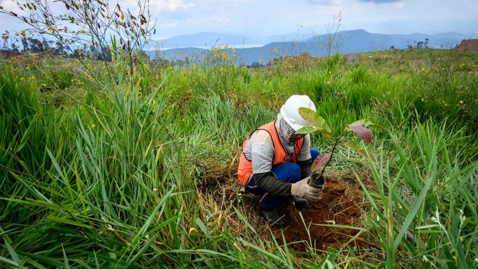 Often, efforts to restore vegetation after strip mining involves using plants that aren't nickel hyper-accumulators (Credit: Getty Images)