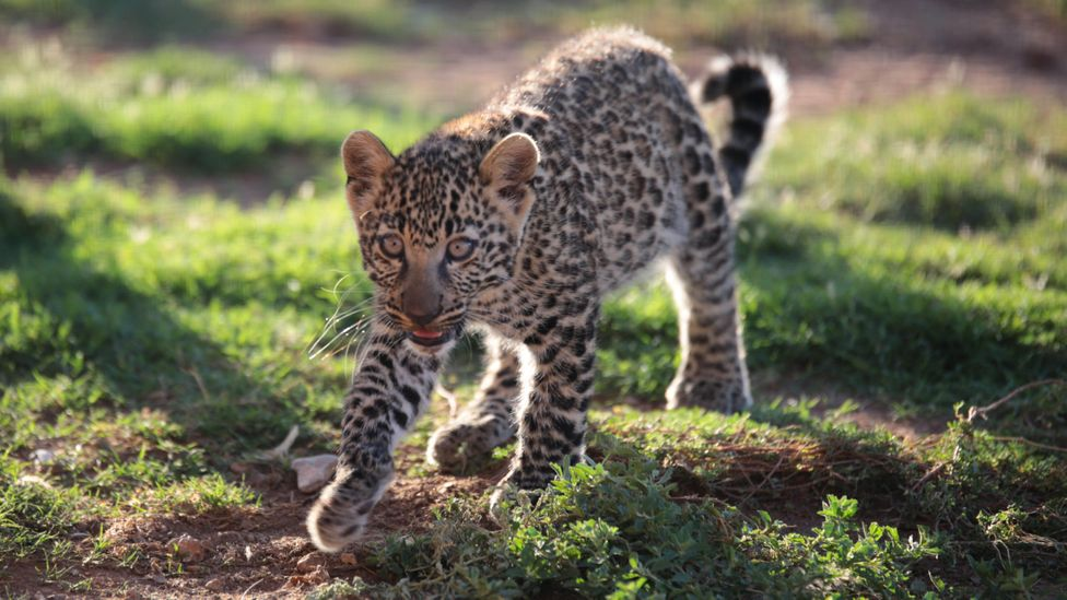 Leopards can range hundreds of miles from their birthplace through their lives, which helps them to avoid inbreeding (Credit: Getty Images)
