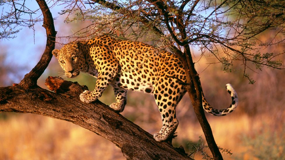 Leopards are naturally reclusive animals, but in densely populated and urbanised regions they become acclimatised to contact with humans (Credit: Getty Images)