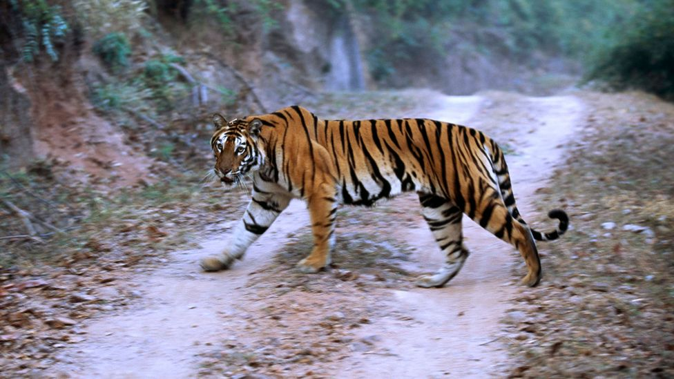 In India, joining up fragmented habitats has benefitted tigers and leopards alike (Credit: Getty Images)