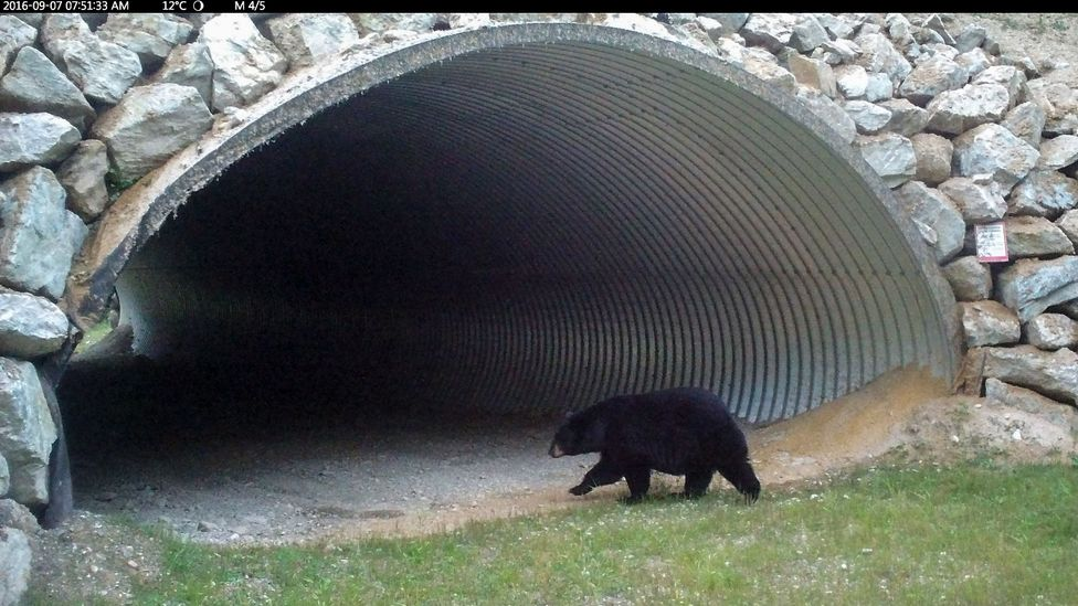 Many large mammals benefit from wildlife tunnels, which are increasingly being seen as a sustainable alternative to walling off animals in nature researves (Credit: Parks Canada)