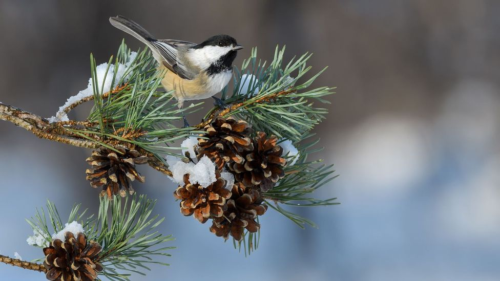 "Chickadees produce different numbers of ""dee"" notes at the end of their call depending on danger they have spotted (Credit: Getty Images)"
