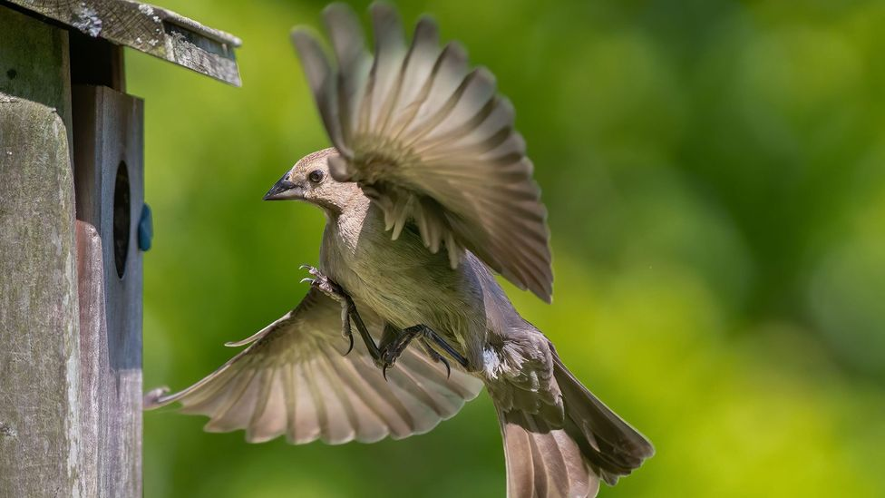 Female cowbirds perform some incredible mental arithmetic to know when she should lay her eggs in the next of a host bird (Credit: Alamy)