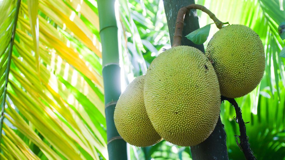 Jackfruit is the world's largest tree-borne fruit and mature trees produce 200 fruits each year (Credit: Utopia_88/Getty Images)