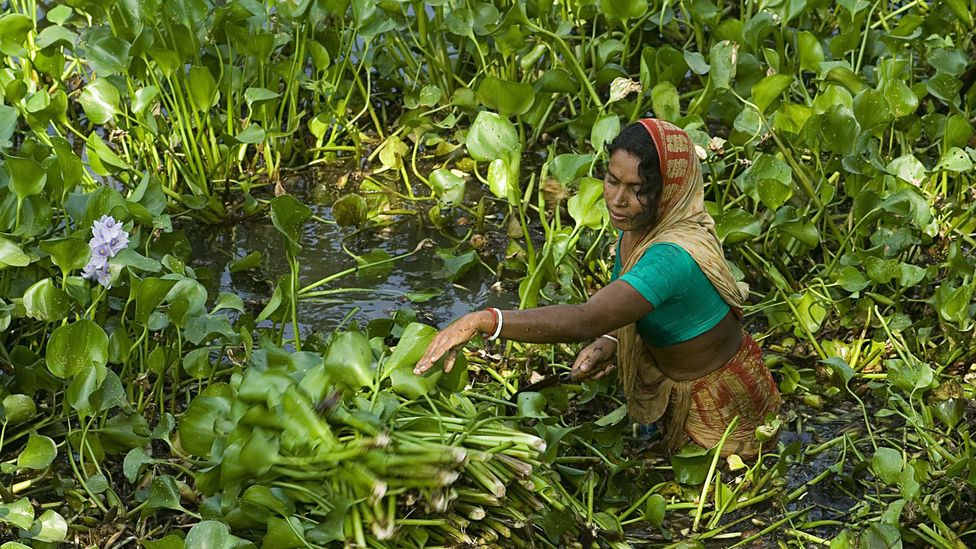 Water hyacinth is an invasive weed in parts of Bangladesh, but now it is being used to form soil-free beds for the country's floating gardens (Credit: Getty Images)
