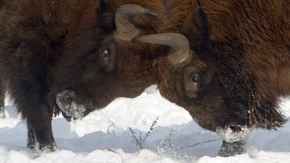 European bison lock horns in the snow (Credit: Getty Images)