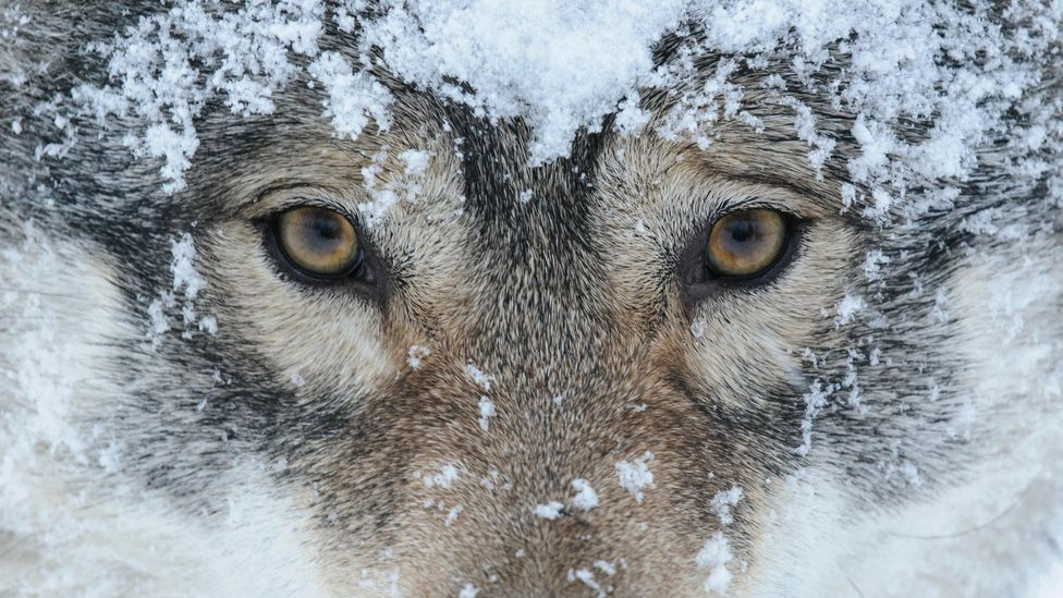 Livestock farmers can be reimbursed for losses caused by wolves, but the process has been criticised as bureaucratic (Credit: Alamy)