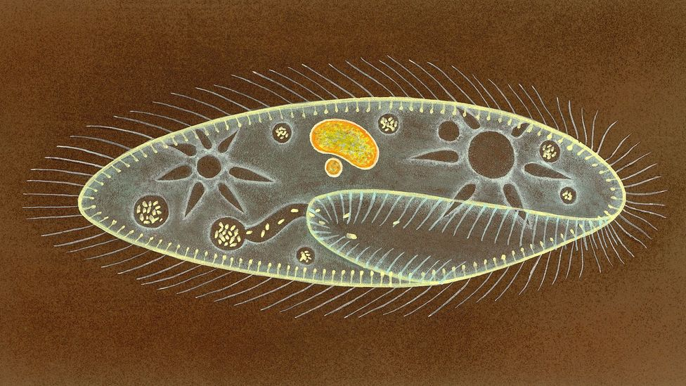 An illustration of a Paramecium; Young's findings of the organism's system eclipsed those of even more senior scientists (Credit: Getty Images)