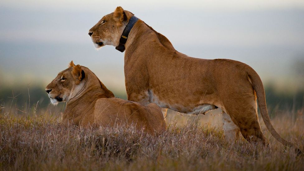Global positioning systems are an important tool for researchers when studying animal movements and behaviour (Credit: Alamy)