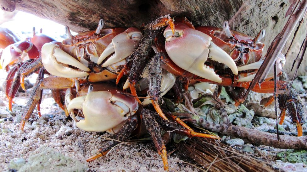Land crabs are voracious eaters of the bait laid to kill rats as they are immune to the poison (Credit: The Nature Conservancy)