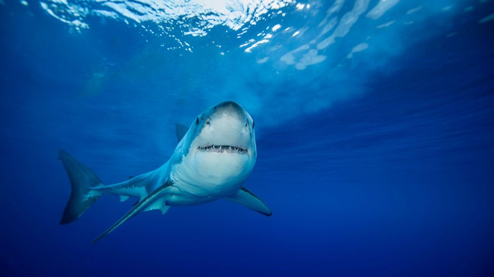 Aqualene, an oil made from shark livers, is is a key ingredient in one leading squalene (Credit: Wildstanimal/Getty Images)
