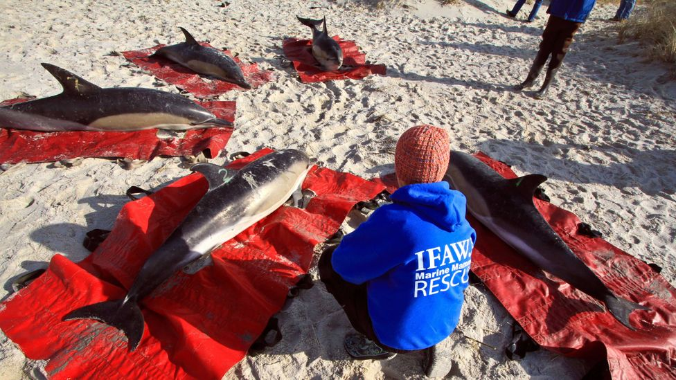 A Cape Cod stranding back in 2012, when less-developed technology made it harder to save dolphins (Credit: Vincent DeWitt/Alamy)