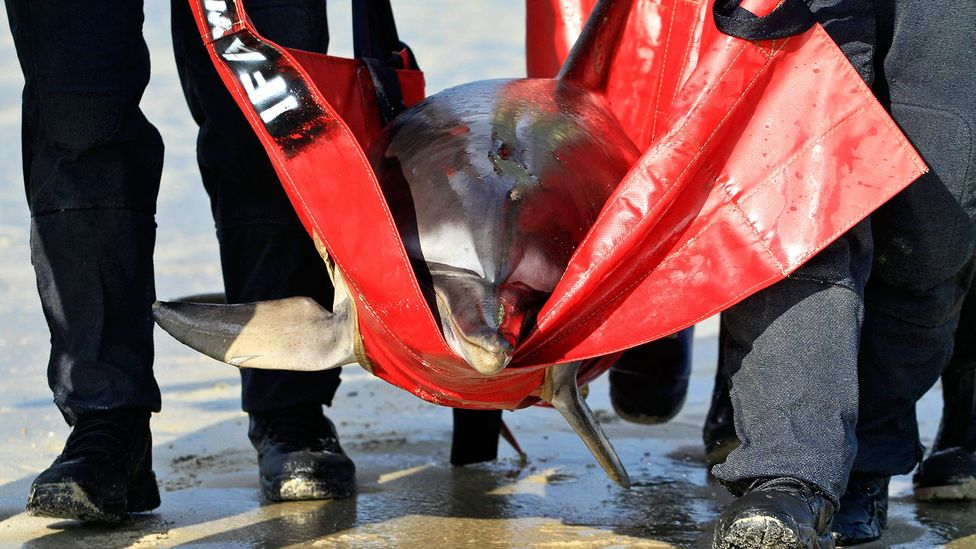 Dolphin strandings are common on the beaches of Cape Cod (Credit: Vincent DeWitt/Alamy)