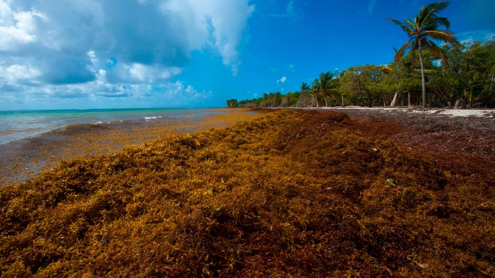 At the Caribbean island of Guadeloupe, piles of brown seaweed heap up on the otherwise white sandy shores (Credit: Getty Images)