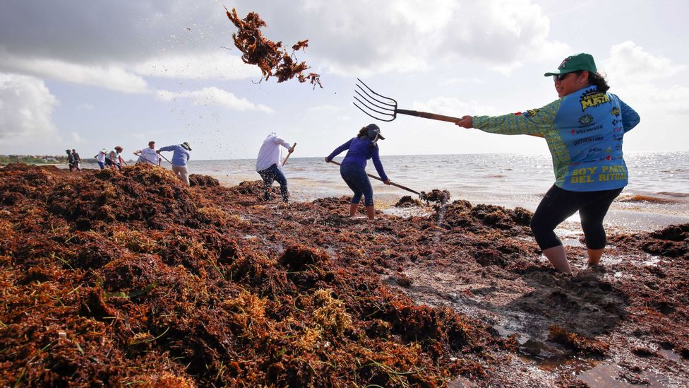 Residents of Mexican coastal towns face a daunting task to try to clear the mounds of sargassum by hand (Credit: Getty Images)