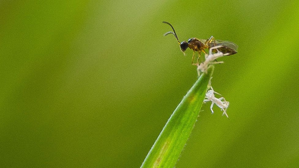 If pesticide use is to decrease, might more farmers turn to biological controls like this parasitic wasp? (Credit: Getty Images)