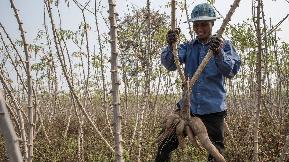 The cassava crop is incredibly important to the economies of South East Asia (Credit: Getty Images)