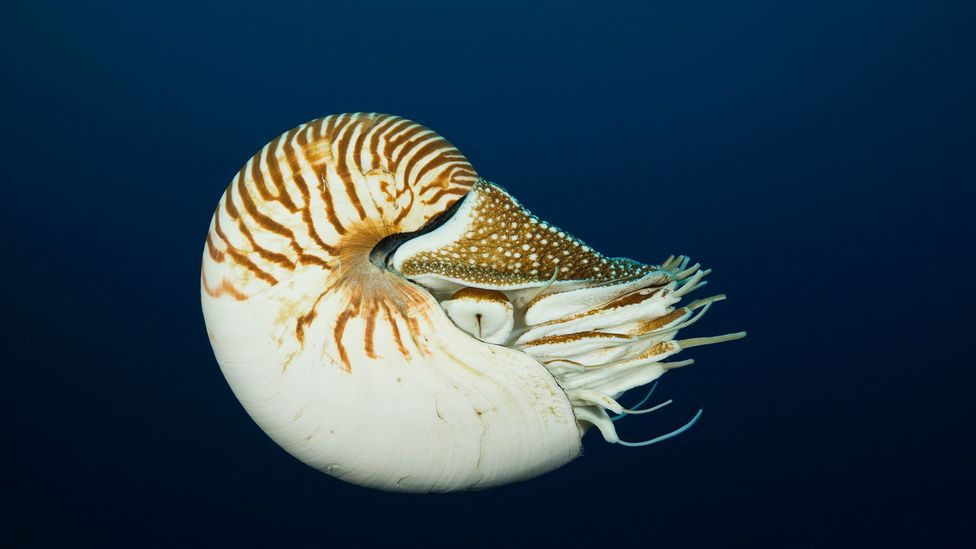 The Fibonacci sequence can even be found in nature, such as in the design of nautilus shells (Credit: Reinhard Dirscherl/ullstein bild via Getty Images)