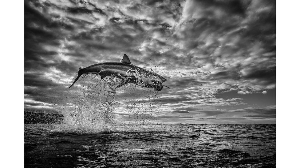 An image of a breaching shark by photographer Chris Fallows, called The Pearl, went viral after it was taken in August 2020 (Credit: Chrisfallows.com)