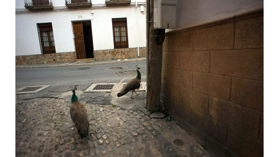 Two peacocks walk down a street in Ronda, Spain, during the national lockdown in April 2020 (Credit: Jorge Guerrero/Getty Images)