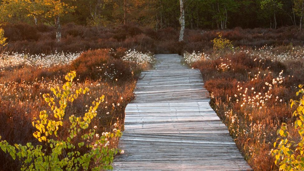 Boardwalks through restoring bogs could be important as a tourist attraction as the area finds new sources of income after peat (Credit: Tina Claffey Photography)