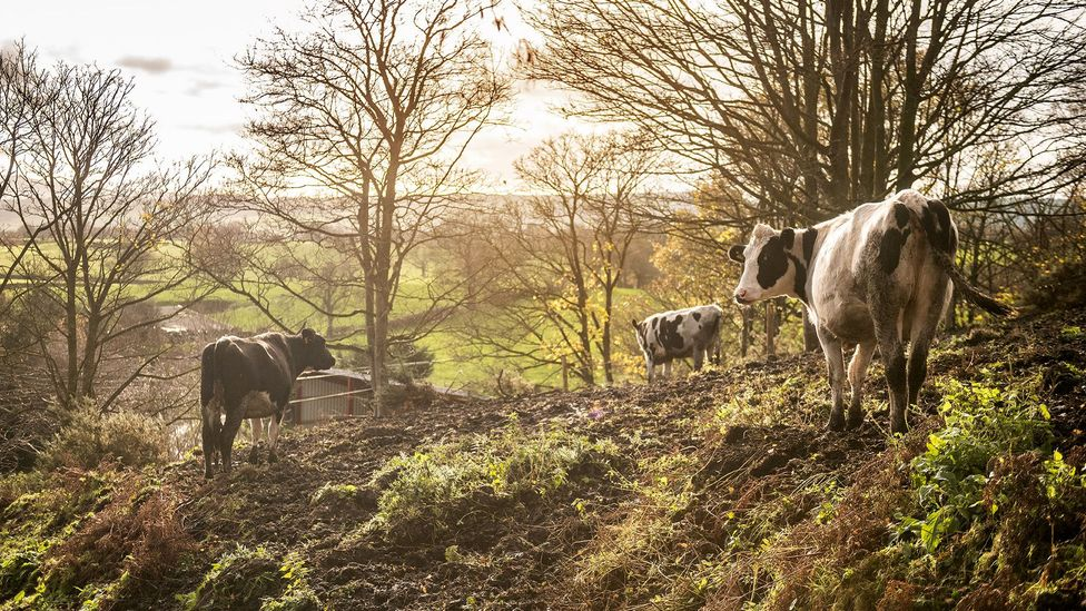 Greenhouse gas emissions from the dairy industry are rising as demand for milk grows globally (Credit: John Quintero/BBC)