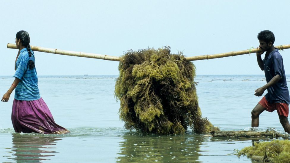 One seaweed raft can yield up to 200kg seaweed in around 45 days (Credit: Alamy)