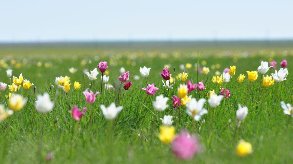 The tulips of the Kazakh steppes (Credit: Alyona Koshkina)
