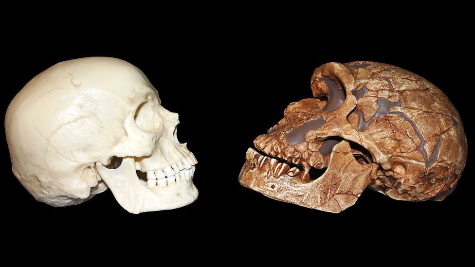 Neanderthals (right) had projecting faces, low foreheads with pronounced browridges, wide cheekbones and weak chins compared to Homo sapiens (Credit: Sabena Jane Blackbird/Alamy)