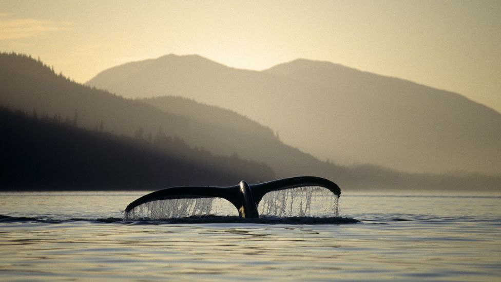 Whales help to send carbon to the depths of the sea throughout their lives, and also when they die (Credit: Alamy)
