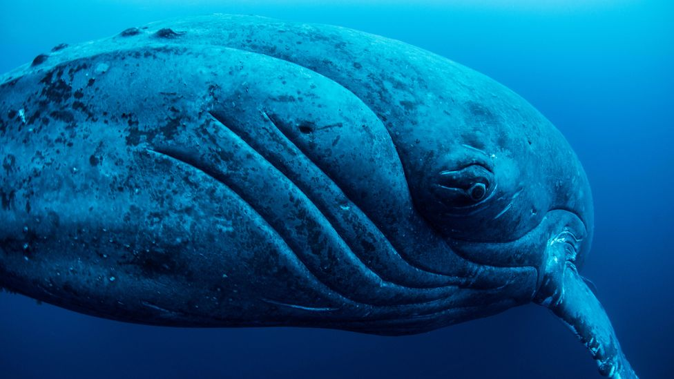 The bodies of whales, among the largest creatures on Earth, are huge stores of carbon (Credit: Alamy)