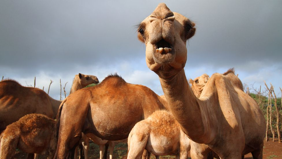 Close contact between camels and humans risks spreading Mers – a more deadly coronavirus relative of Covd-19 (Credit: Jacob Kushner)