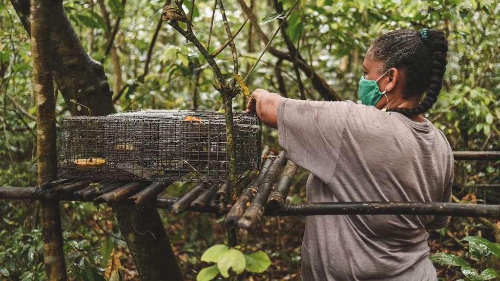 Scientists are using banana-baited traps to catch primates so they can be vaccinated against yellow fever (Credit: Luiz Thiago de Jesus)