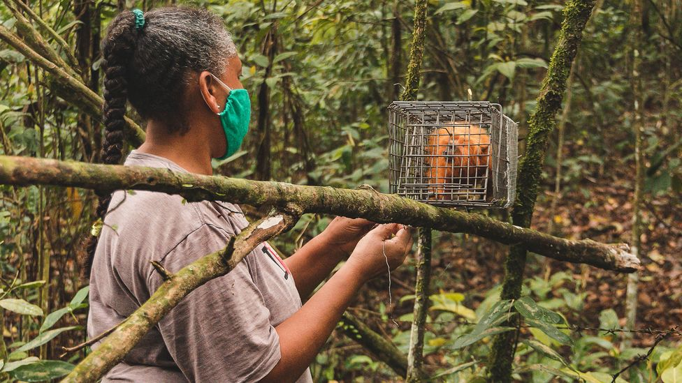 Once captured, the researchers take samples from the tamarins and give them a vaccine before returning them to the forest (Credit: Luiz Thiago de Jesus)