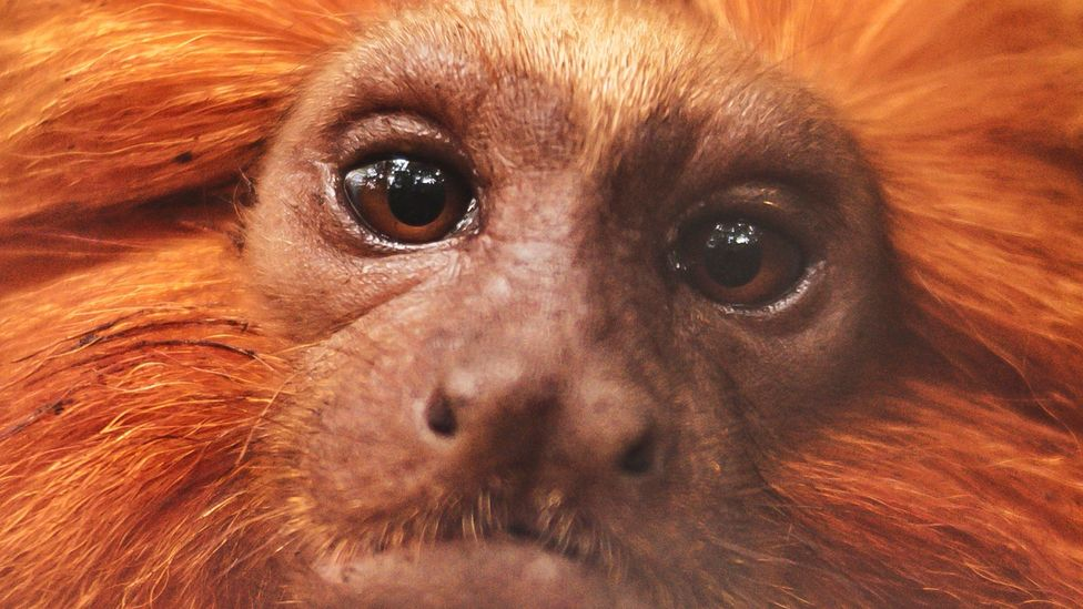 A close up of a golden lion tamarin (Credit: Luiz Thiago de Jesus)