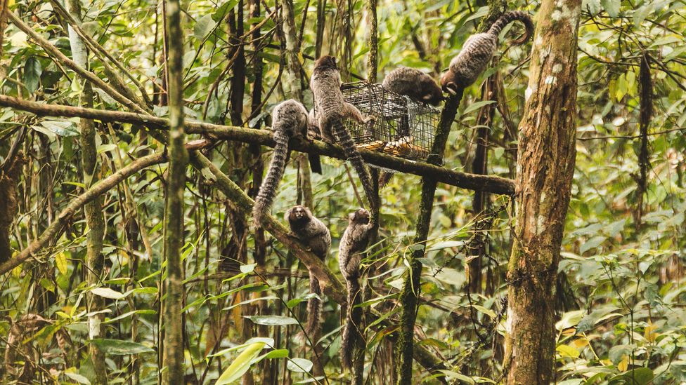 Not all attempts to capture tamarins go smoothly – sometimes marmosets gang up to steal the bait (Credit: Luiz Thiago de Jesus)