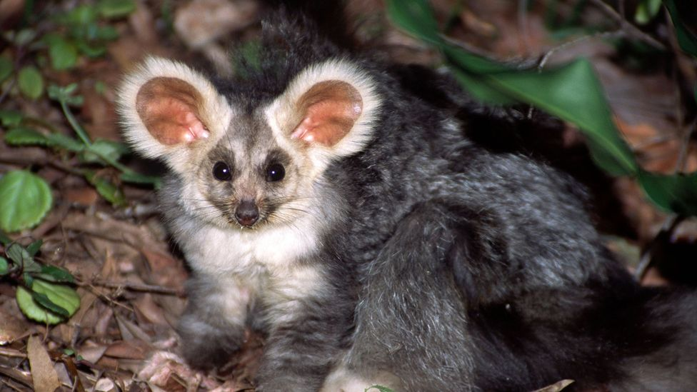 The greater glider is a solitary, tree-dwelling marsupial with big furry ears and large round eyes (Credit: Stephanie Jackson - Australian wildlife collection/Alamy)