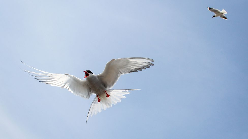 The islands are an important breeding and nesting ground for many species, such as the Arctic tern (Credit: Getty Images)