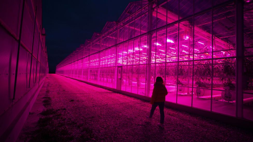 A woman walks past greenhouses bathed in pink light (Credit: Getty Images)