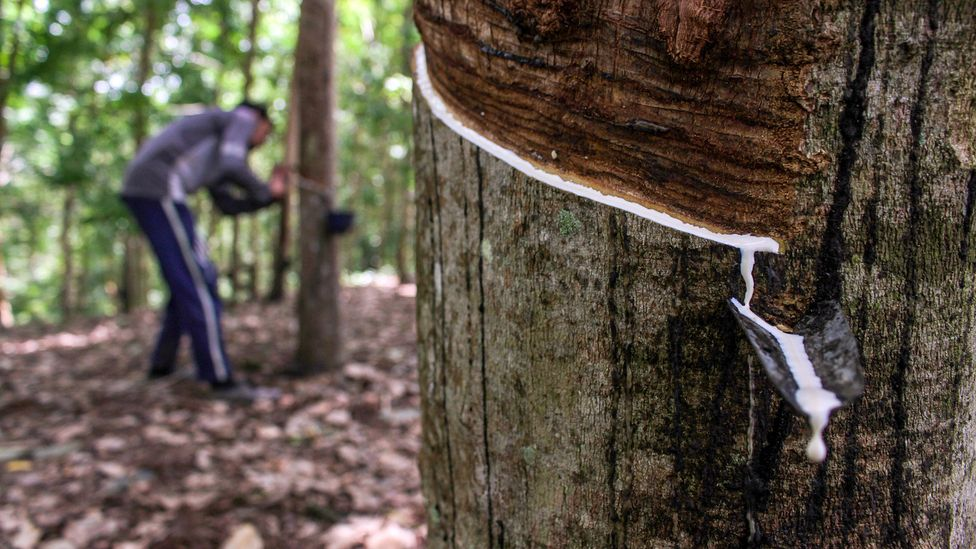 Natural rubber is obtained by carefully stripping bark from rubber trees and collecting the latex sap (Credit: Maskur Has/Getty Images)