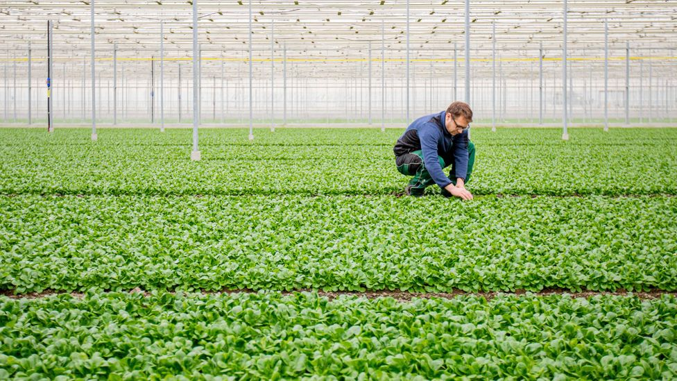 Enhancing the growth of vegetables in greenhouses is one application for the CO2 captured from the air by DAC (Credit: Alamy)