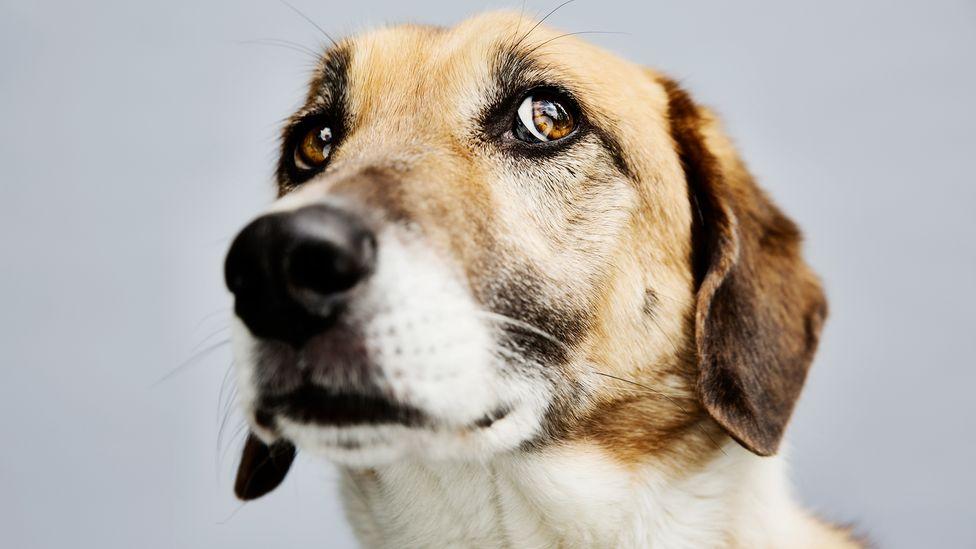 Los perros no mostrarán simpatía hacia las personas que creen que han dañado a sus dueños, sugiere una investigación (Crédito: Westend61 / Getty Images)