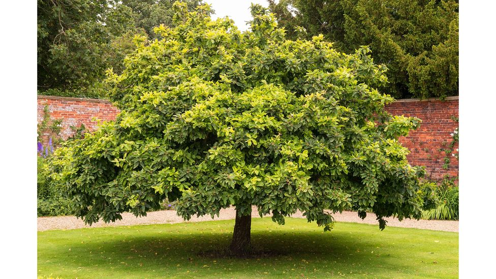 Medlar trees are unfussy and long-lived, with even the most venerable specimens producing hundreds of fruit each year (Credit: Alamy)