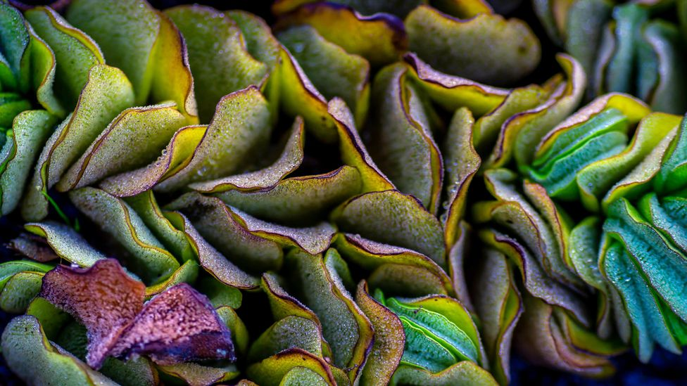 Salvinia has an enormously rapid growth rate and can engulf a lake, smothering the ecosystem and killing fish and mammals (Credit: Alamy)